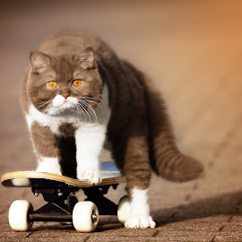 It's nice to see her grow up. by Janina Bürger - Animals - Cats Kittens ( kitten, cat, catphotography, skateboard, british shorthait,  )