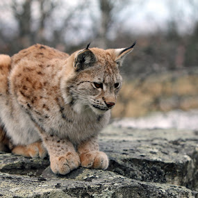 HUnting Bobcat by Benny Berget - Animals Other Mammals