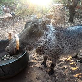 GoPro H7B - Common Warthog by Ruan Pretorius - Animals Other ( gopro7, south africa, leeupoort, gopro, warthog, sun, morning )
