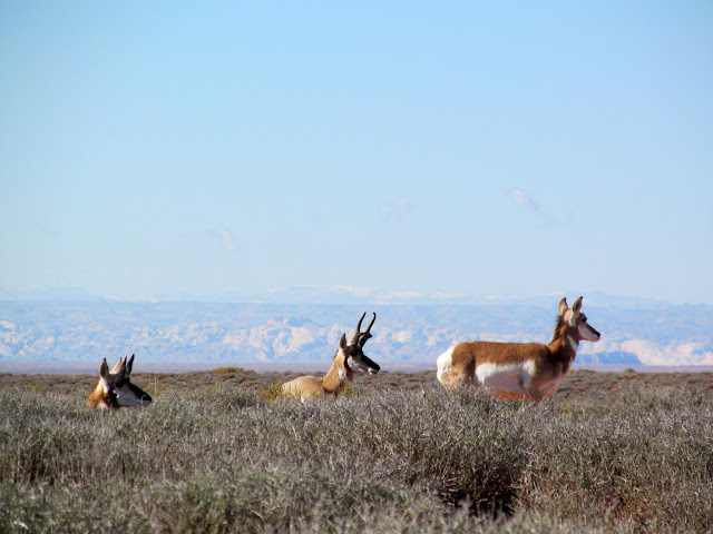 Pronghorn at Burr Pass