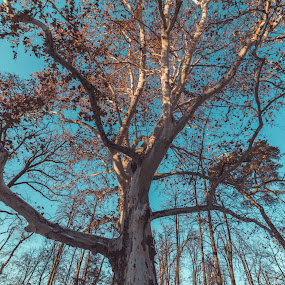 All up to the sky by Paul Voie - Nature Up Close Trees & Bushes ( big, blue sky, up close, tree, winter )