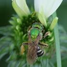 green smallish bee