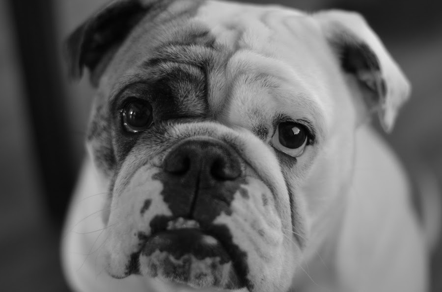 Lula is not amused by Benjamin Howen III - Animals - Dogs Portraits ( bulldog, dog )