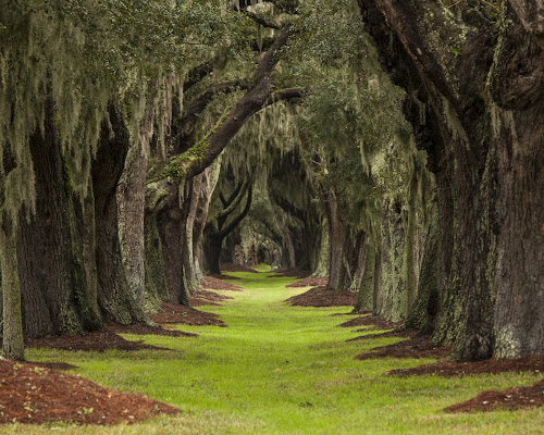 long path through oaks to unknown destination by John Wollwerth - Landscapes Forests ( nobody, wood, path to unknown, plants, beauty, through, live oak, long, spring, decision, distance, canopy, southern, nature, oak, foliage, path, perspective, wild, pathway, grass, lush, green, spooky, verdant, forest, row, destination, opportunity, environment, trunk, outdoor, scenery, square, walk )