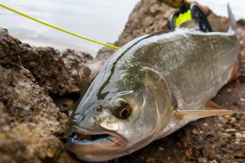 Мухарски риболов на распер