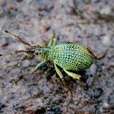 Broad-nosed Weevil