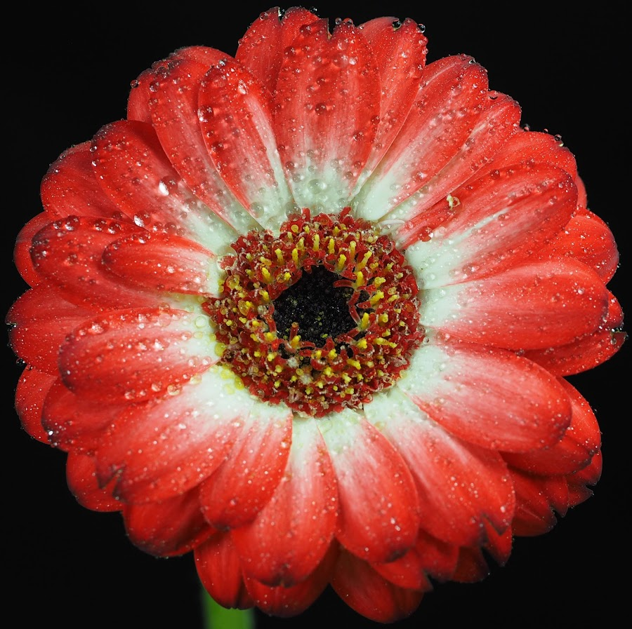 Red and White Gerbra Drops by Gillian James - Flowers Single Flower ( red and white, daisy, close up, gerbera, flower )