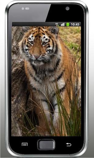 Tiger Wild Predator LWP