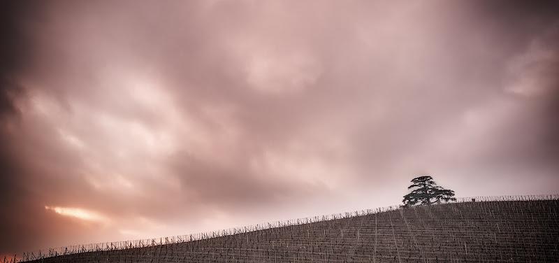 Il cedro del Libano di Aldo1973