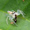 Jumping spider hunting fly