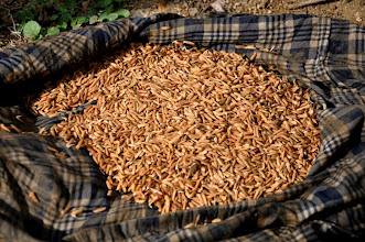 Photo: Pre-germinated seeds; Ferrier, Haiti, June 2010 [Photo by Erika Styger]