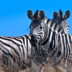 Two Zebra by Rulie Arifin - Animals Other Mammals ( savannah, two, horses, black and white, horse, safari, wildlife, zebra, africa, animal,  )