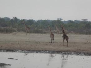Photo: All the giraffes at the waterhole were watching their fellow giraffe in distress.