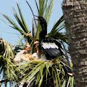 Anhinga (in nest with three chicks)
