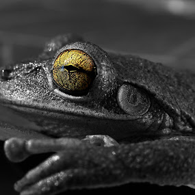 My What Big Eyes You Have by Jessica Rowley - Animals Amphibians ( macro, b&w, selective color, cuban tree frog, black and white, frog, florida, tree frog, closeup, eye,  )