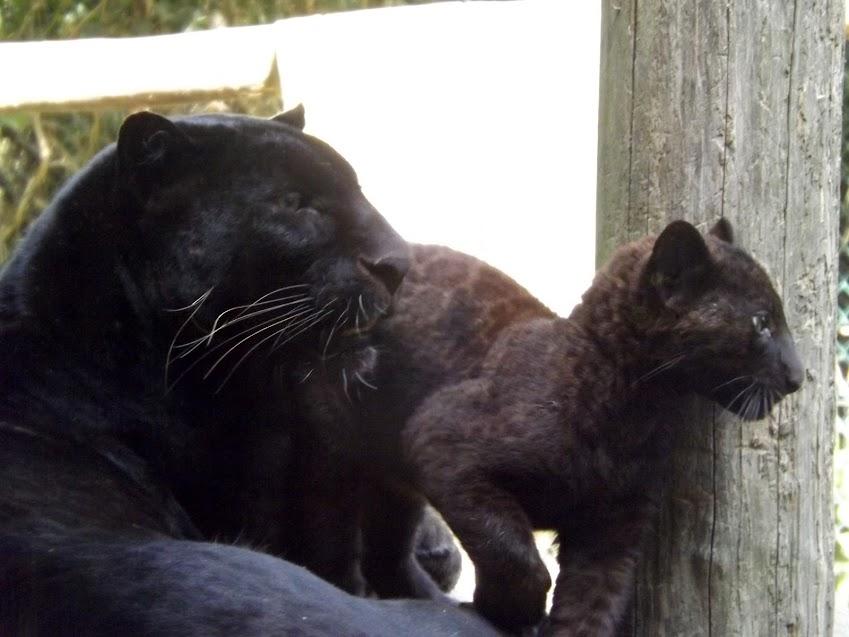 Mâle panthère noire et bébé de 3 mois, la Boissière du Doré - Tous droits réservés