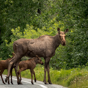 Mamma Moose and Kids by Ronnie Sue Ambrosino - Animals Other Mammals ( family, moose, cow, baby, twins,  )