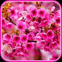 Sakura blossoms wallpaper Japanese Garden icon