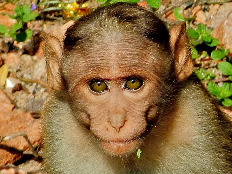 Monkey watching me. by Govindarajan Raghavan - Animals Other (  )