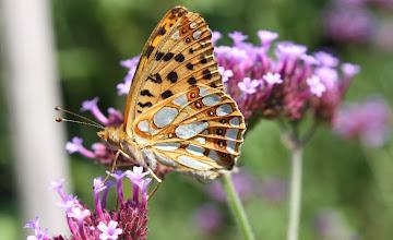 Photo: Issoria lathonia     Lepidoptera Nymphalidae