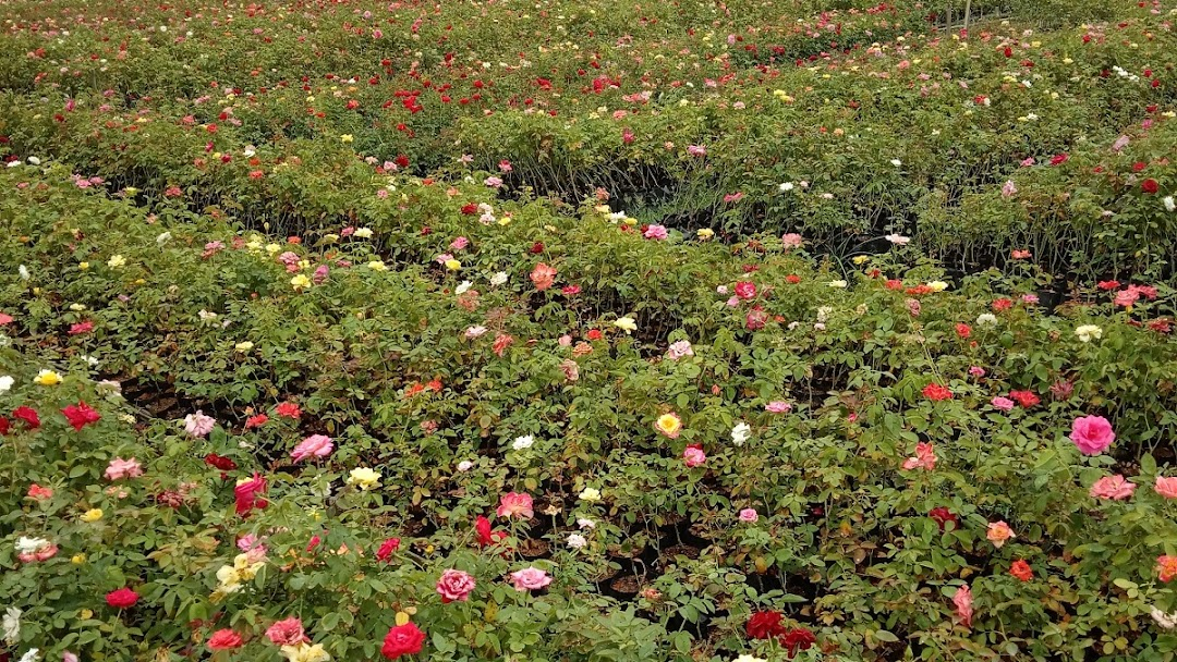 Rose Nursery Garden In Bagnan