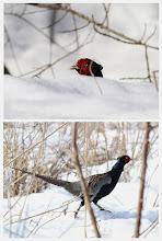Photo: 撮影者:佐藤哲郎 キジ タイトル:雪原を歩く 観察年月日:2014.2.22 羽数:♂1羽 場所:浅川大和田橋下流左岸 区分:行動 メッシュ:八王子8J コメント:白い雪の向こうにキジの赤い顔が見えた。その後悠然と雪の上を歩き去った。