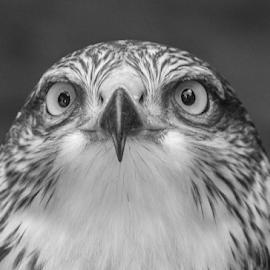 Ferruginous hawk by Garry Chisholm - Black & White Animals ( ferruginous hawk, raptor, bird of prey, nature, garry chisholm )