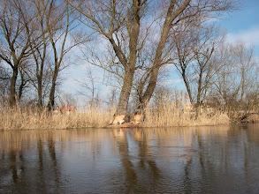Photo: bobry zajęły się grubymi drzewami