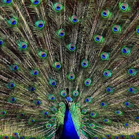 Peacock by Oliver Zografski - Animals Birds (  )