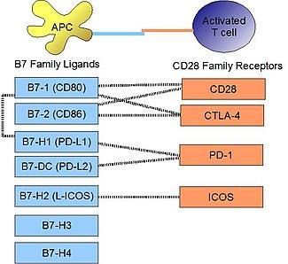 https://upload.wikimedia.org/wikipedia/commons/thumb/3/3d/B7_family_ligands_and_CD28_family_receptors.JPG/325px-B7_family_ligands_and_CD28_family_receptors.JPG