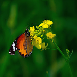 monarch on mustard flower by Abdul Haseeb - Digital Art Animals