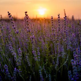 Lavander field by Baltă Mihai - Landscapes Sunsets & Sunrises ( field, lavander, sunset, flower, sun )