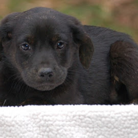 All Black Puppy by Jessica Rose - Animals - Dogs Puppies ( puppy, black, blackpuppy, dog, adoptmeplease,  )