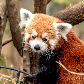 Red Panda by Debbie Quick - Animals Other Mammals ( panda, debbie quick, outdoors, new york city, nature, central park, red panda, animal, zoo, debs creative images )