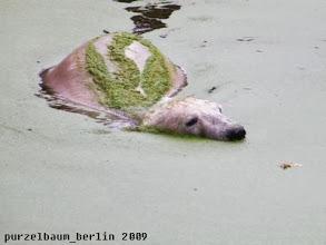 Photo: Hat Knut den Wassergraben fuer sich :-)