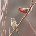 House Finches