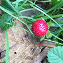 Mock or Indian Strawberry