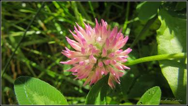 Photo: Trifoi (Trifolium) - din Turda, Calea Victoriei,Bloc B15, spatiu verde - 2018.07.15