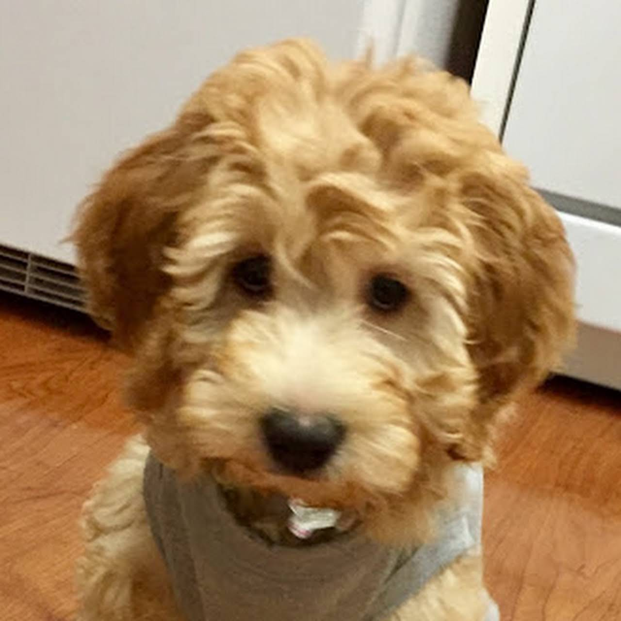Tennessee Goldendoodles - Pet Adoption Service in Clarksville