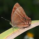 plum judy butterfly