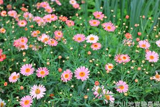 Photo: 拍攝地點: 梅峰-溫帶花卉區 拍攝植物: 粉色瑪格莉特 拍攝日期: 2014_04_16_FY