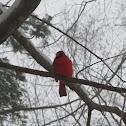Common Cardinal