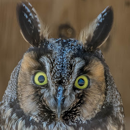 what are you looking out by Darrin Ralph - Animals Birds ( #owl, #bird, #eyes, #wildlife )