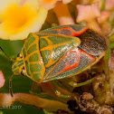 Green Grid Stink Bug