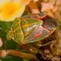 Green Grid Stink Bug
