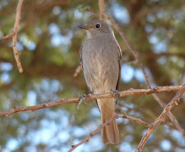 Photo: Codirosso spazzacamino - Phoenicurus ochruros - Black Redstart