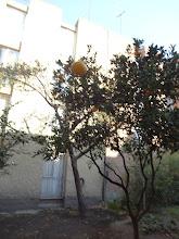 Photo: Citronovník rostoucí hned vedle našeho dočasného bydlení.
