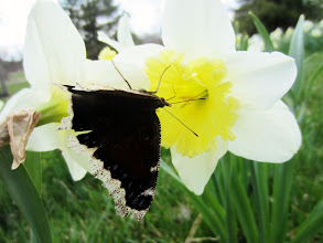 Photo: Black butterfly on a white and yellow daffodil at Cox Arboretum in Dayton, Ohio.