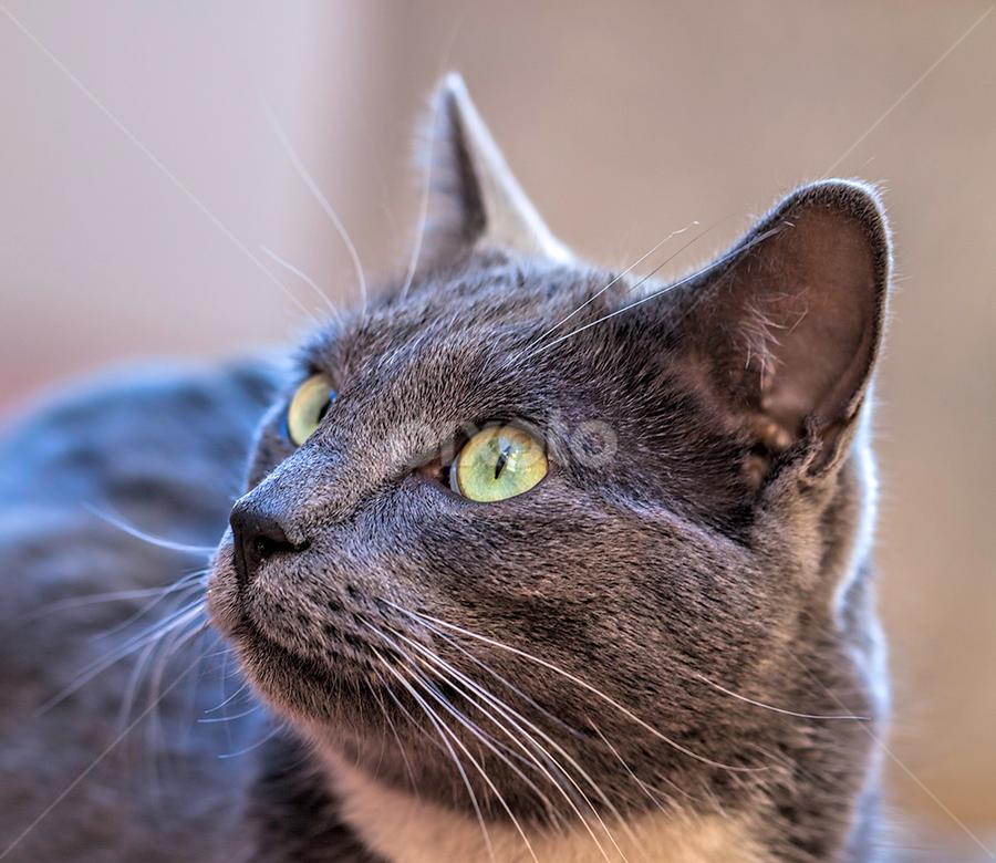 Paddington by Linda McDougall - Animals - Cats Portraits