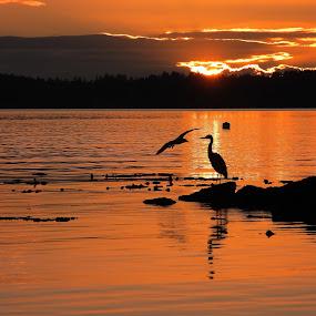 Sunrise Arbutus Ridge, BC by Campbell McCubbin - Landscapes Sunsets & Sunrises ( sunrise, reflection, dawn, birds, heron, gull, morning )